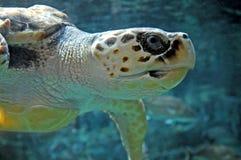 Loggerhead schildpad, profiel Royalty-vrije Stock Foto