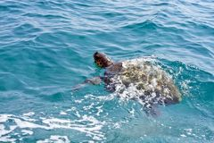 The Loggerhead Sea Turtle. (Caretta caretta) - swimming in waters near the island turtle Marathonisi royalty free stock photo