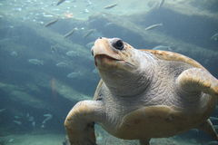 Loggerhead sea turtle royalty free stock photos