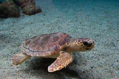 Loggerhead sea turtle Caretta caretta, also known as the loggerhead. Wild life animal.  royalty free stock images