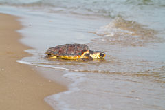 Loggerhead Sea Turtle (Caretta caretta) Royalty Free Stock Images