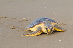 Loggerhead Sea Turtle (Caretta caretta) Stock Photos