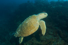 Loggerhead Sea Turtle-Caretta caretta Royalty Free Stock Image