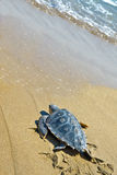 Loggerhead Sea Turtle (Caretta caretta) Stock Image