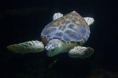 Loggerhead sea turtle Caretta caretta Royalty Free Stock Images