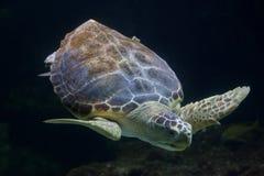 Loggerhead sea turtle Caretta caretta Royalty Free Stock Photos