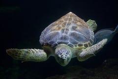 Loggerhead sea turtle Caretta caretta Stock Photography
