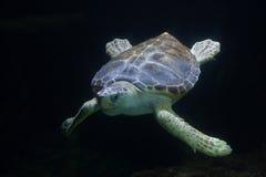 Loggerhead sea turtle Caretta caretta Royalty Free Stock Photo