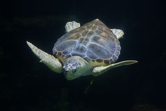 Loggerhead sea turtle Caretta caretta Royalty Free Stock Image