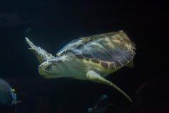 Loggerhead sea turtle Caretta caretta Stock Photo