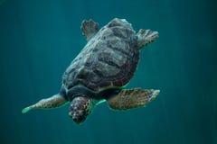 Loggerhead sea turtle Caretta caretta. Royalty Free Stock Photography