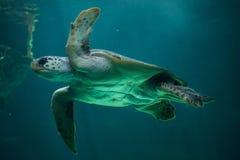 Loggerhead sea turtle Caretta caretta. Stock Photos