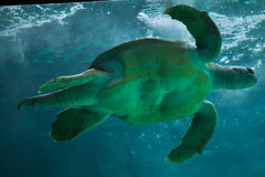 Loggerhead sea turtle Caretta caretta. Stock Photography