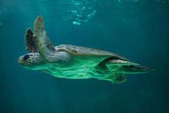 Loggerhead sea turtle Caretta caretta. Royalty Free Stock Photos