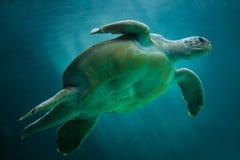 Loggerhead sea turtle Caretta caretta. Loggerhead sea turtle Caretta caretta, also known as the loggerhead stock images