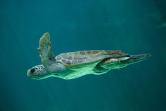 Loggerhead sea turtle Caretta caretta. Loggerhead sea turtle Caretta caretta, also known as the loggerhead stock photography
