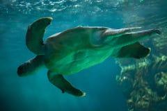Loggerhead sea turtle Caretta caretta. Stock Images