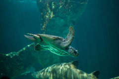 Loggerhead sea turtle Caretta caretta. Stock Photo