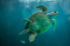 Loggerhead sea turtle Caretta caretta. Loggerhead sea turtle Caretta caretta, also known as the loggerhead royalty free stock photos