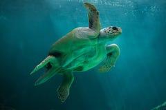 Loggerhead sea turtle Caretta caretta. Royalty Free Stock Photo