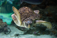 Loggerhead sea turtle (Caretta caretta). Stock Photography