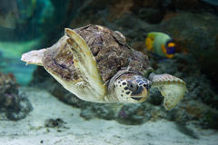 Loggerhead sea turtle (Caretta caretta). Royalty Free Stock Photography