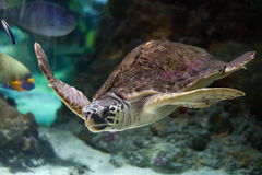 Loggerhead sea turtle (Caretta caretta). Royalty Free Stock Images