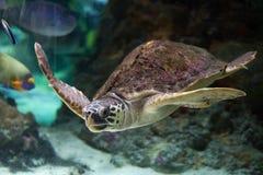 Loggerhead sea turtle (Caretta caretta). Loggerhead sea turtle (Caretta caretta), also known as the loggerhead. Wild life animal royalty free stock images
