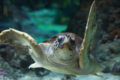 Loggerhead sea turtle (Caretta caretta). Royalty Free Stock Photos