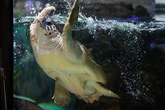 Loggerhead sea turtle (Caretta caretta). Royalty Free Stock Photo