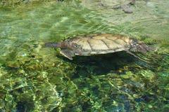 Loggerhead Sea Turtle - Caretta caretta Royalty Free Stock Images