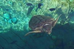 Loggerhead Sea Turtle - Caretta caretta Royalty Free Stock Photos