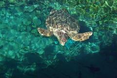 Loggerhead Sea Turtle - Caretta caretta Royalty Free Stock Photo