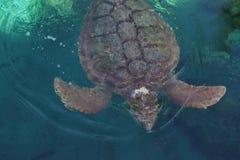 Loggerhead Sea Turtle - Caretta caretta Stock Image