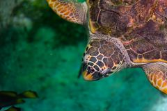 The loggerhead sea turtle, Caretta caretta. The loggerhead sea turtle Caretta caretta, or loggerhead, is an oceanic turtle distributed throughout the world. It royalty free stock image