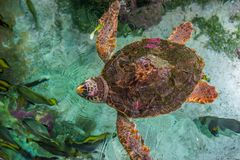The loggerhead sea turtle, Caretta caretta. The loggerhead sea turtle Caretta caretta, or loggerhead, is an oceanic turtle distributed throughout the world. It stock photography