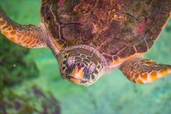 The loggerhead sea turtle, Caretta caretta. The loggerhead sea turtle Caretta caretta, or loggerhead, is an oceanic turtle distributed throughout the world. It stock photos