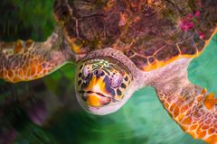 The loggerhead sea turtle, Caretta caretta. The loggerhead sea turtle Caretta caretta, or loggerhead, is an oceanic turtle distributed throughout the world. It royalty free stock images