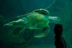 Loggerhead sea turtle Caretta caretta. Royalty Free Stock Image