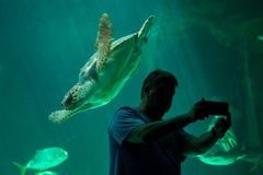 Loggerhead sea turtle Caretta caretta. Stock Photos