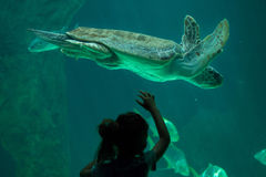 Loggerhead sea turtle Caretta caretta. Royalty Free Stock Images