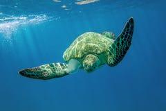 Loggerhead sea turtle Caretta caretta - Red Sea Stock Images