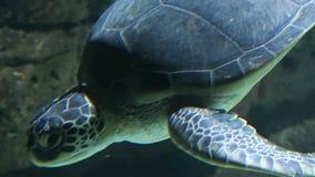 Loggerhead sea turtle Caretta caretta swimming in the Mediterranean sea.  stock video footage