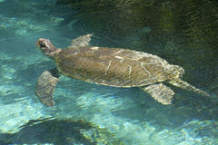 Loggerhead Sea Turtle (Caretta caretta) Stock Photography