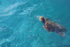 Loggerhead sea turtle (Caretta Caretta) swimming Royalty Free Stock Photography