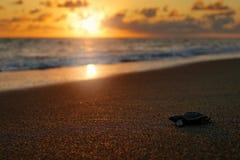 Loggerhead Sea Turtle, Caretta caretta, evening birth on the sand beach, Corcovado NP, Costa Rica. First minute of live, small stock images