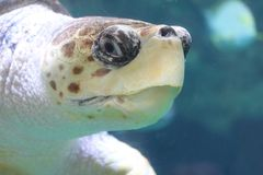Loggerhead sea turtle Caretta caretta. The loggerhead sea turtle Caretta caretta, or loggerhead, is an oceanic turtle distributed throughout the world. It is a royalty free stock images