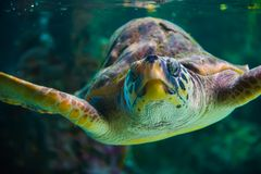 The loggerhead sea turtle, Caretta caretta. The loggerhead sea turtle Caretta caretta, or loggerhead, is an oceanic turtle distributed throughout the world. It royalty free stock photos