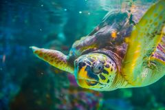 The loggerhead sea turtle, Caretta caretta. The loggerhead sea turtle Caretta caretta, or loggerhead, is an oceanic turtle distributed throughout the world. It royalty free stock photography