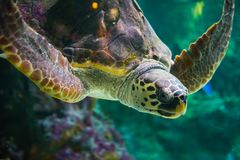 The loggerhead sea turtle, Caretta caretta. The loggerhead sea turtle Caretta caretta, or loggerhead, is an oceanic turtle distributed throughout the world. It royalty free stock photo